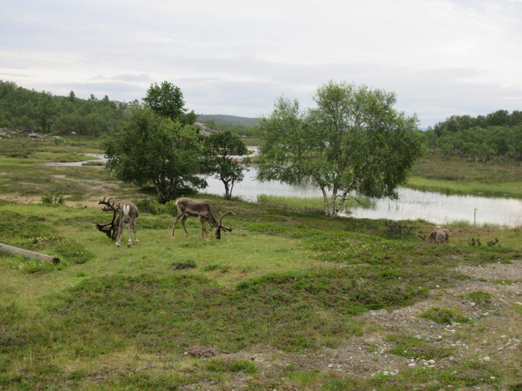 Reindeers at the Finnish-Norwegian border