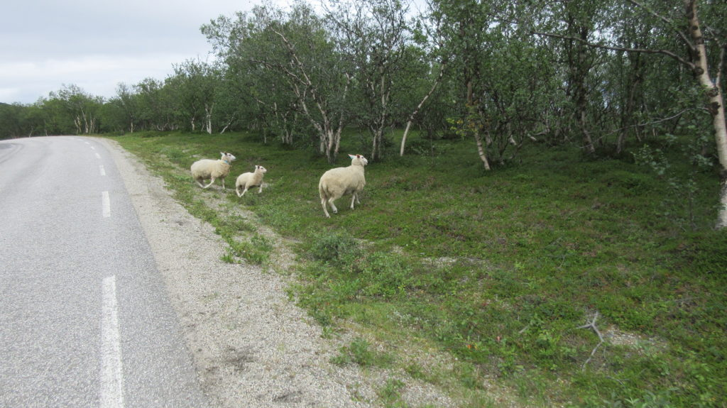 Not only reindeers, also sheep along the way