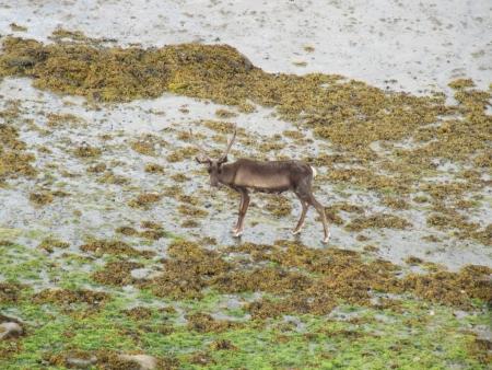 lost-reindeer