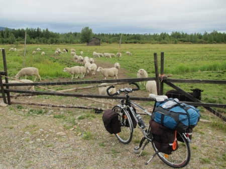 more-sheep-in-yllasjarvi-jpg