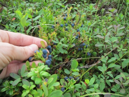 lots-of-blueberries-jpg