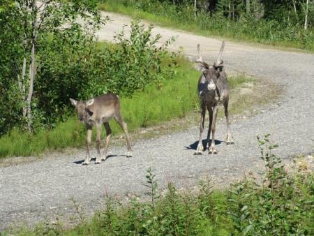 other-reindeers-jpg