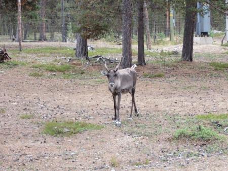 reindeer-1-jpg